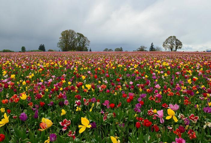 Woodburn Tulips_021