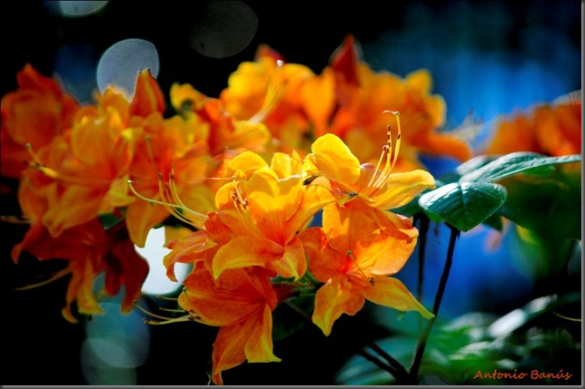 12_DSC4695X1rhododendron spek's orange
