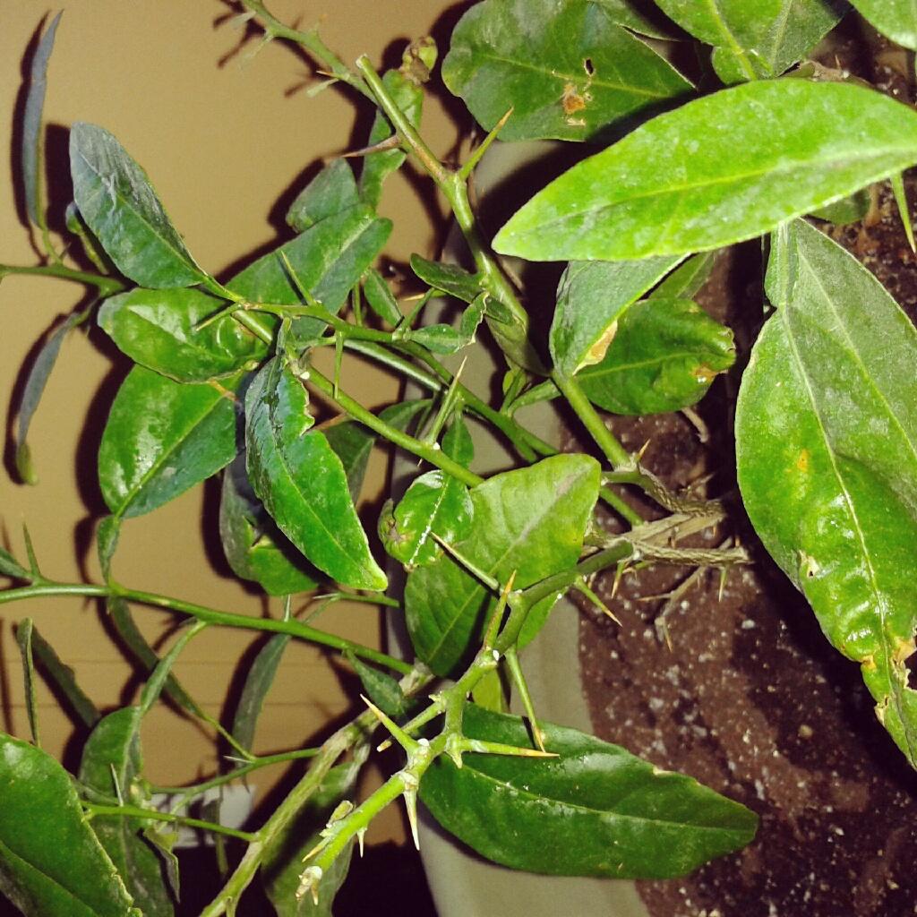 Growing Indoor Fruit Trees My Little Lemon Lime Urban