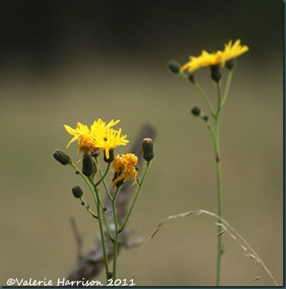 9-common-sow-thistle
