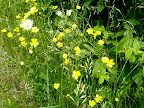 Here, more tall buttercups.