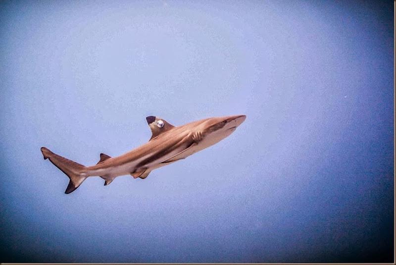 swimming shark - SMALL