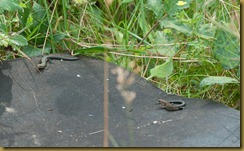 juvenile Common Lizards