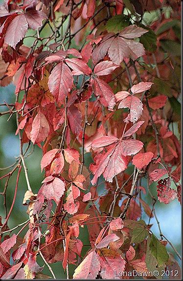 Autumn_Vines_Oct3