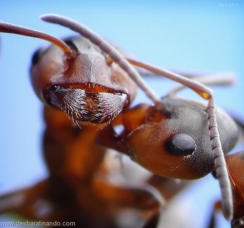 formigas inacreditaveis incriveis desbaratinando  (70)