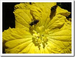 Flor de abóbora. Foto: M.Eiterer.