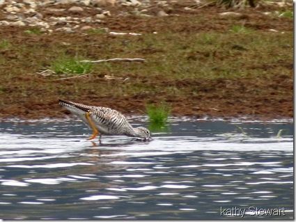Feeding Yellowlegs