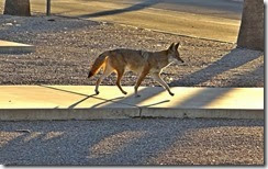 coyote etc 033