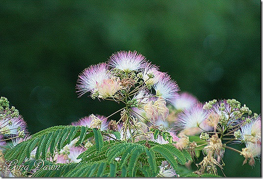 Mimosa_Blooms2