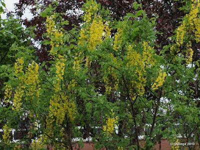 Cytise commun- Laburnum anagyroides ou vulgare