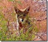 coyote head crop