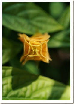 yellow shrimp plant top