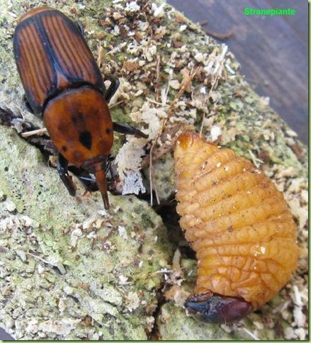 Rhynchophorus ferrugineus insetto adulto larva