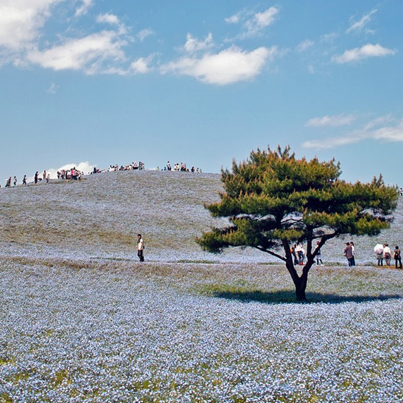 Flower Paradise at Hitachi Seaside Park, Japan
