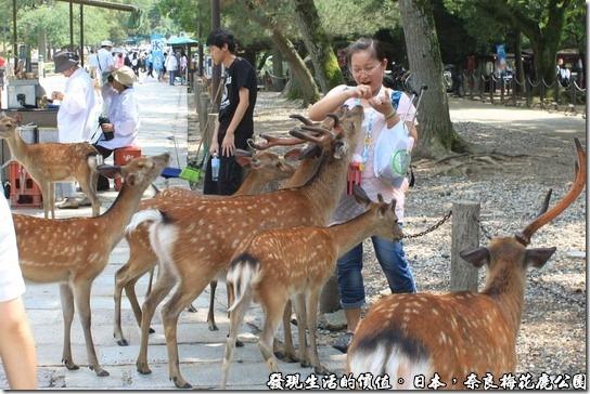 奈良梅花鹿公園,我的手上有鹿仙貝,大家快來吃。