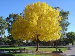 fresno es un rbol de porte mediano a grande es utilizado en parques paseos pblicos y en el arbolado de calles brinda una fresca y buena sombra