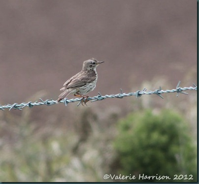 39-meadow-pipit