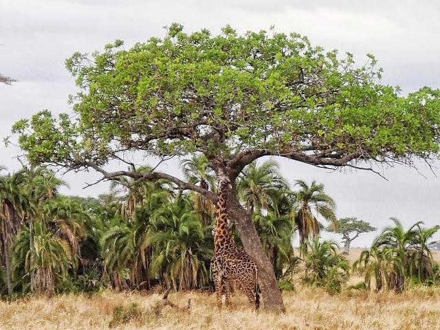 Serengeti 1 128.JPG