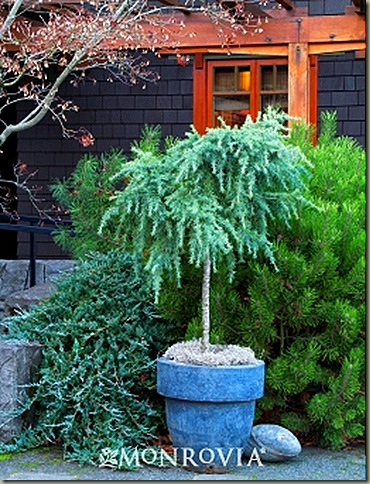 2328-feelin-blue-deodar-cedar-patio-tree