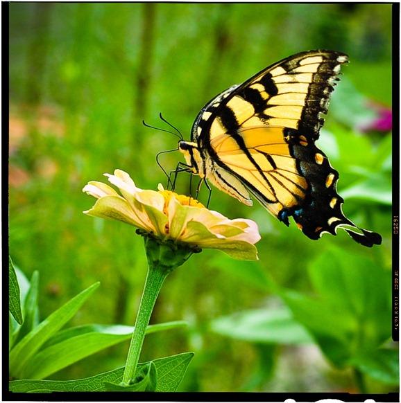 butterfly-6581-21