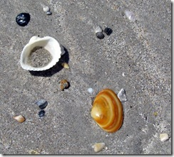 Shells on Bear Island NC