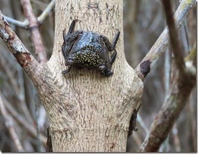 bonito_springs_san_mangrove_crab