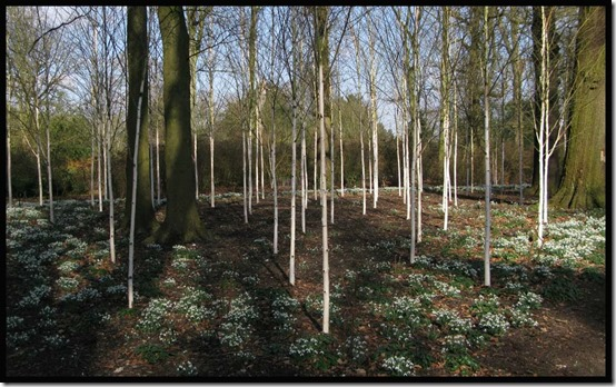Silver birches with snowdrops