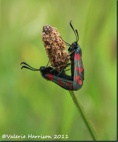 29-six-spot-burnets