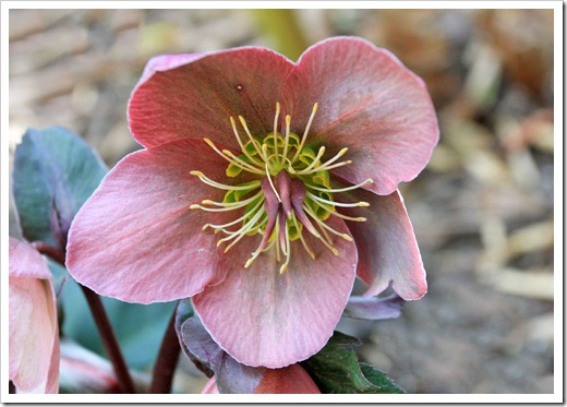 130310_Helleborus-Pink-Frost_06