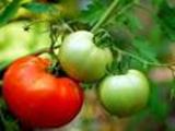 Nama ilmiah tomat