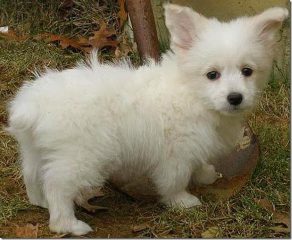 strange-dog-cross-breeds-022