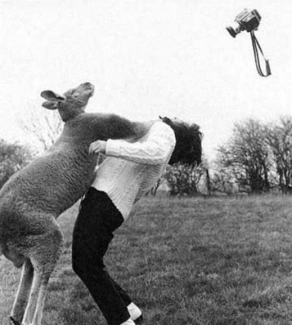 Kangaroo attacking a female