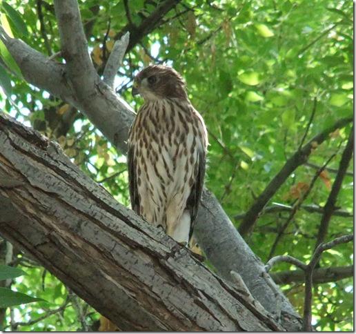 Baby cooper's hawk 6-22-2012 9-48-28 AM 1810x1698