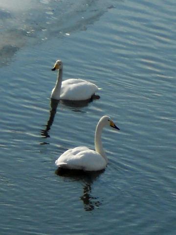 2012.2.20-2 ニニシベツ川の白鳥