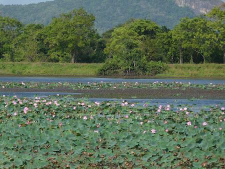 Flori Sri Lanka: lacuri pline de nuferi