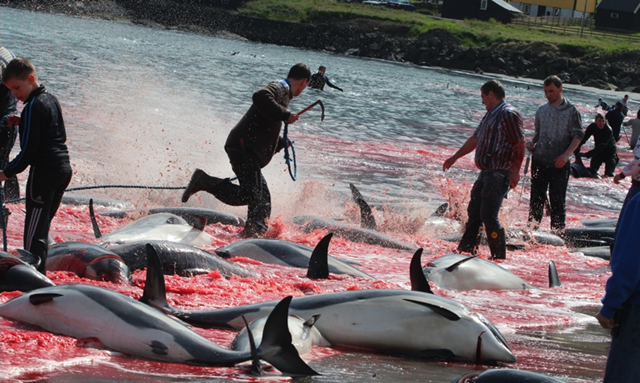 White sided dolphins being slaughtered on the Hvalba beach in the Faroe Islands, 13 August 2013. The grindadráp, or grind hunt, is an annual event in the Faroes, with hundreds of marine mammals butchered, mostly pilot whales. Photo: Sea Shepherd Conservation Society