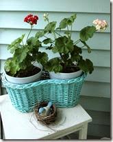 Rosebud_Pelargoniums_Geraniums