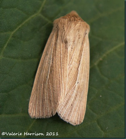 common-wainscot (2)