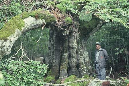 Faggio plurisecolare e grandioso con guardia forestale (V.Capodarca picc.)