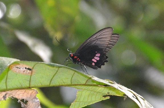 Parides aeneas lucasi BROWN & LAMAS, 1994, femelle. Crique Tortue, près de Saut Athanase (Guyane). 22 novembre 2011. Photo : M. Belloin