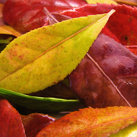 Autumn's Last Big Show by Janet Herman - Nature Up Close Leaves & Grasses ( up close, fall leaves, fall colors, autumn leaves, nature, autumn, fall, leaves )