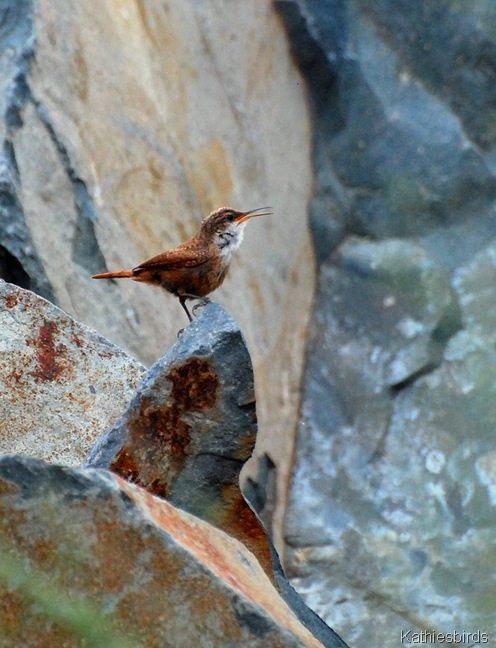 7. canyon wren-kab