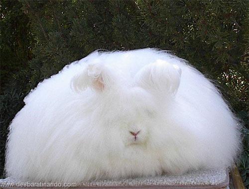 coelho angora peludo desbaratinando (1)