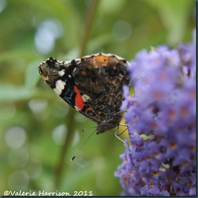red-admiral (2)