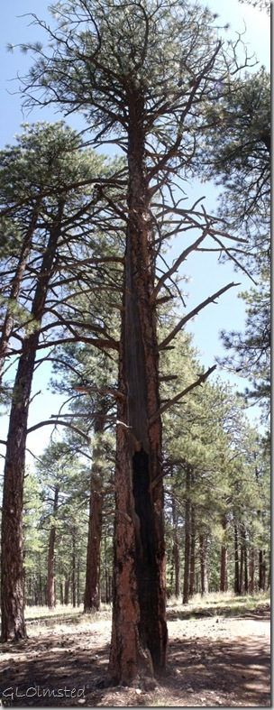 03 Ponderosa pine shows lightning strike Cape Final trail NR GRCA NP AZ pano (391x1024)