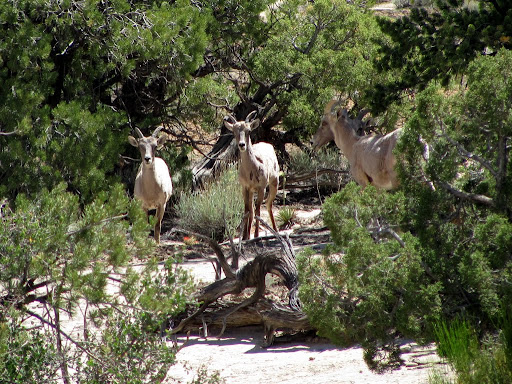 Bighorn sheep on the Eva Conover Road