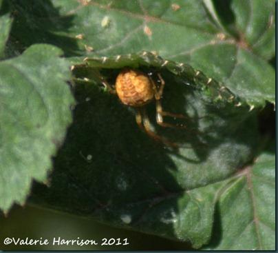 12-Araneus-diadematus