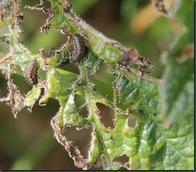 80-larvae