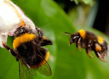 Bombus terrestris workers, Norfolk, UK.