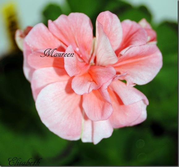 Pelargonium juni-11 116